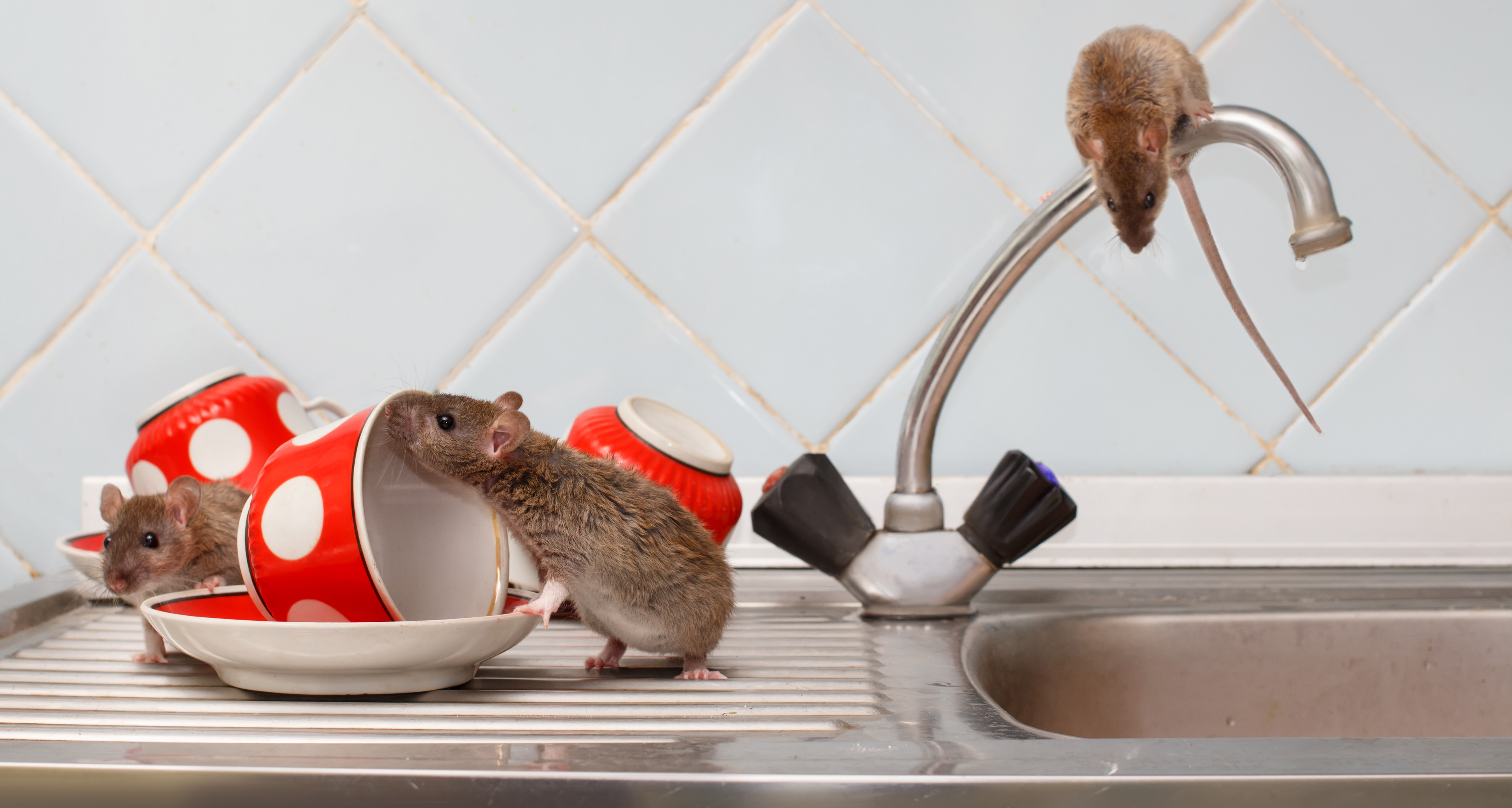 How to Get Rid of Rats and Mice for Good